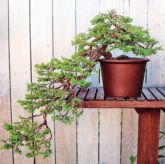 Bonsai In Progress Cascade Juniper