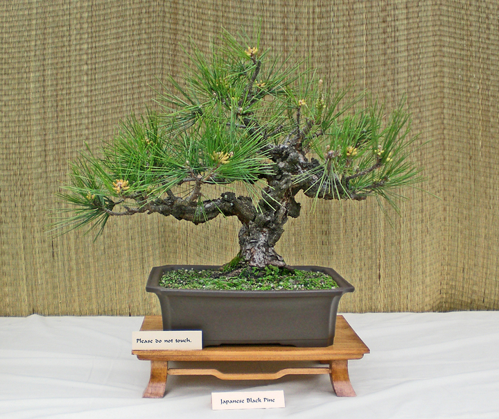 Black Pines Needle And Candle Pruning